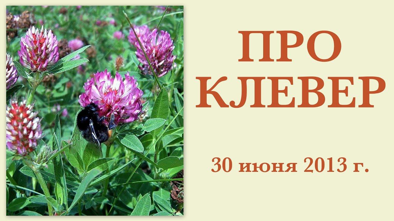Особо следует остановиться на значении пчел в опылении красного клевера — одной из главнейших кормовых культур нечерноземной полосы нашей.