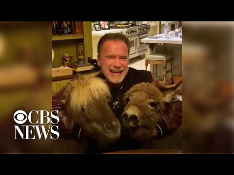 "Arnold Schwarzenegger Practices ""social Distancing"" With Donkey And Pony"