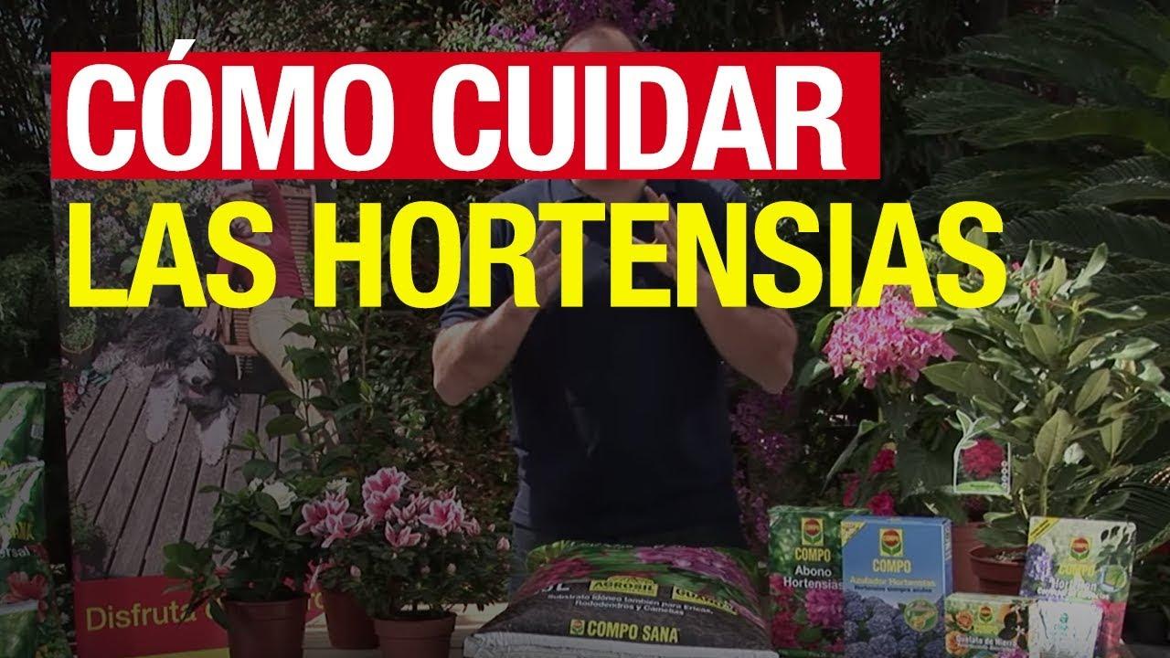 C mo cuidar las hortensias compo jardiner a youtube for Cuidar hortensias exterior