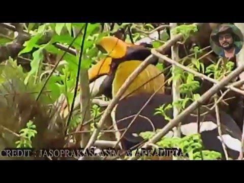 Great Hornbill Eating snake after Hard Work.
