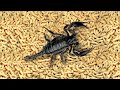 - WHAT WILL BE IF THE BIG SCORPION SEES 1000 MAGGOTS? THE SCORPIONS VERSUS MAGGOTS!