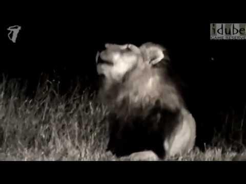 Powerful Lion Roaring In the Dark African Night