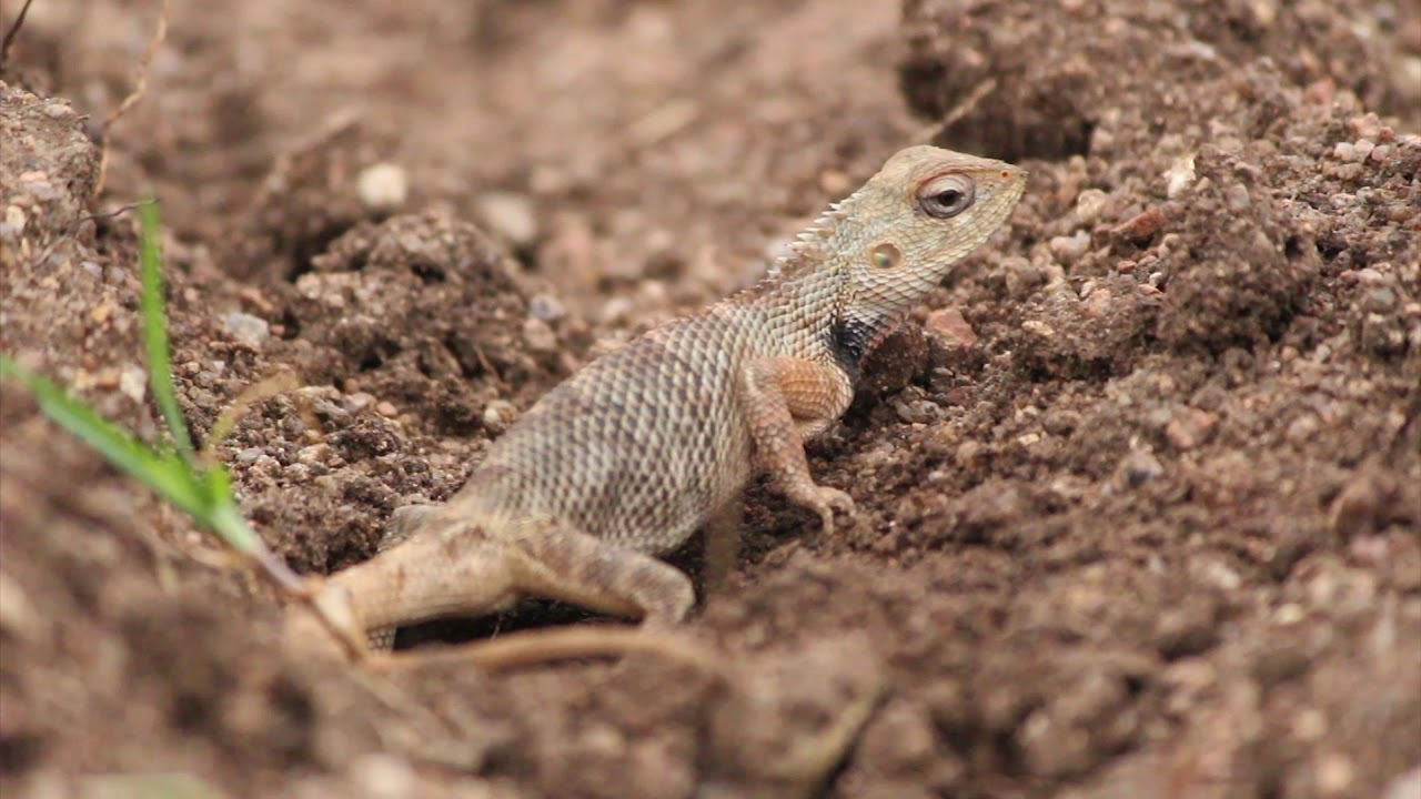 Oriental garden lizard laying eggs - YouTube