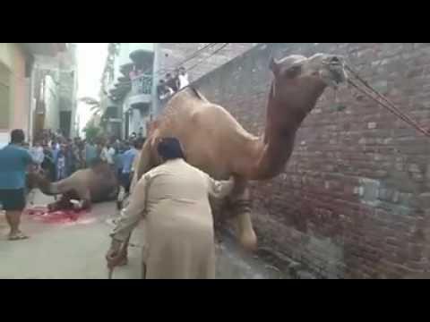 sethi brothers camel 2015 Tariq sethi
