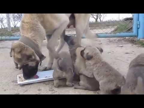 Kangal puppies 1