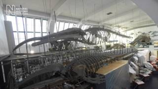 Setting the stage for the blue whale skeleton move | Natural History Museum