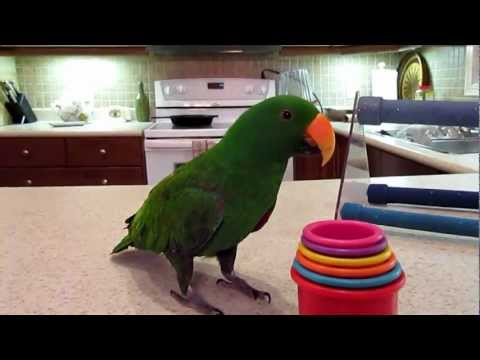 Toby 5 year old eclectus parrot