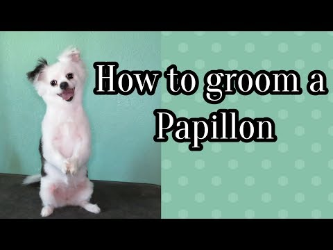 How to groom a papillon