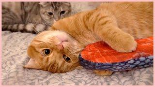 고양이들에게 연어 스테이크를 줘봤어요 [베니패밀리]
