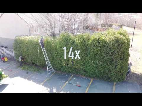 How to trim BIG cedar hedges