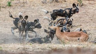 TOP WILD DOGS' FAILURE ATTACK MOMENTS