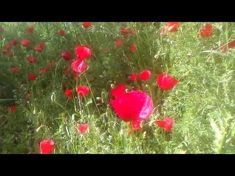 Gelincik çiçeği otunun faydaları çayının faydaları yararları nelerdir