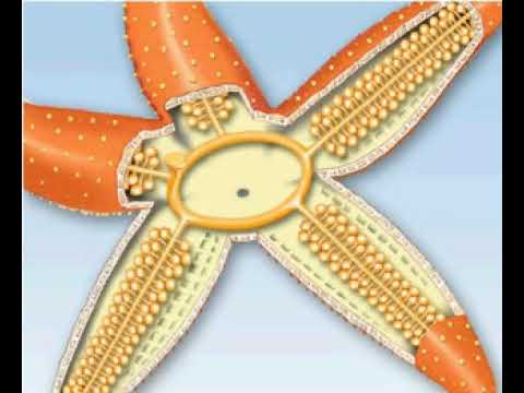 Structure Of The Starfish, A Typical Echinoderm