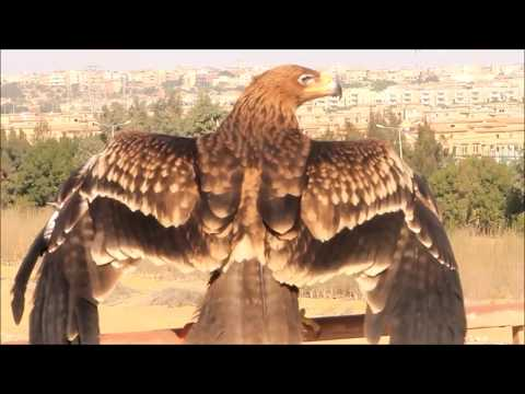 نسخة عن Eastern Imperial eagle