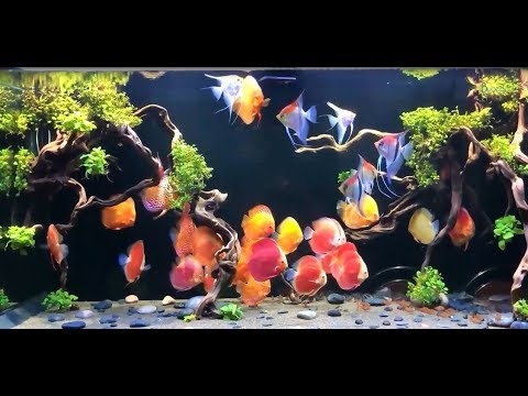 3 Amazing Discus Tank Set Ups By Bucep Viet (Vietnam).  And A Great Discus Collection