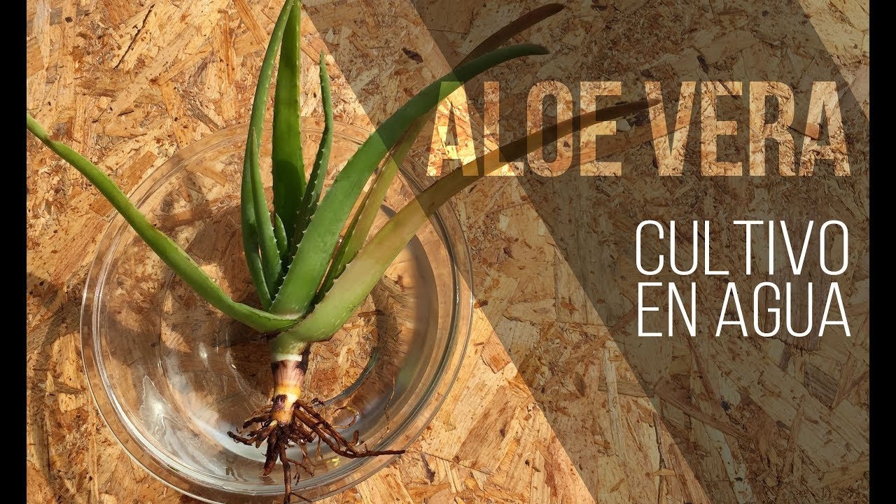 Aloe Vera Cultivo En Agua Youtube