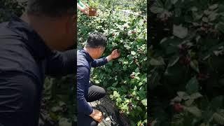 [한국게르마늄농업방송]명품복분자 사례