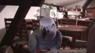 Papuga gadająca po Polsku! Jaki dobry buziak