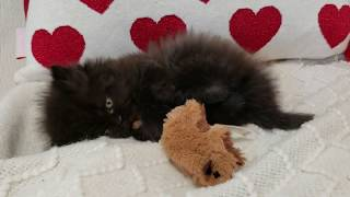 6 week old kitten playing with her toy! Cute Kitten Videos
