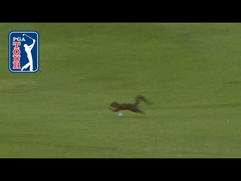 Squirrel dodges Sergio Garcia's golf ball at AT&T Byron Nelson