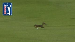 Squirrel dodges Sergio Garcia's golf ball at AT&T Byron Nelson
