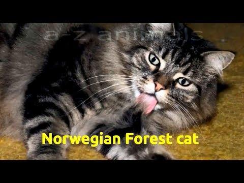 Norwegian Forest cat (Felis catus)
