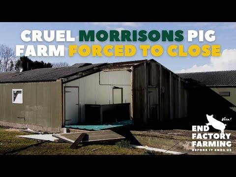 Cruel Morrisons Pig Farm Forced To Close
