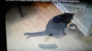 Коты боятся огурцов.:-D