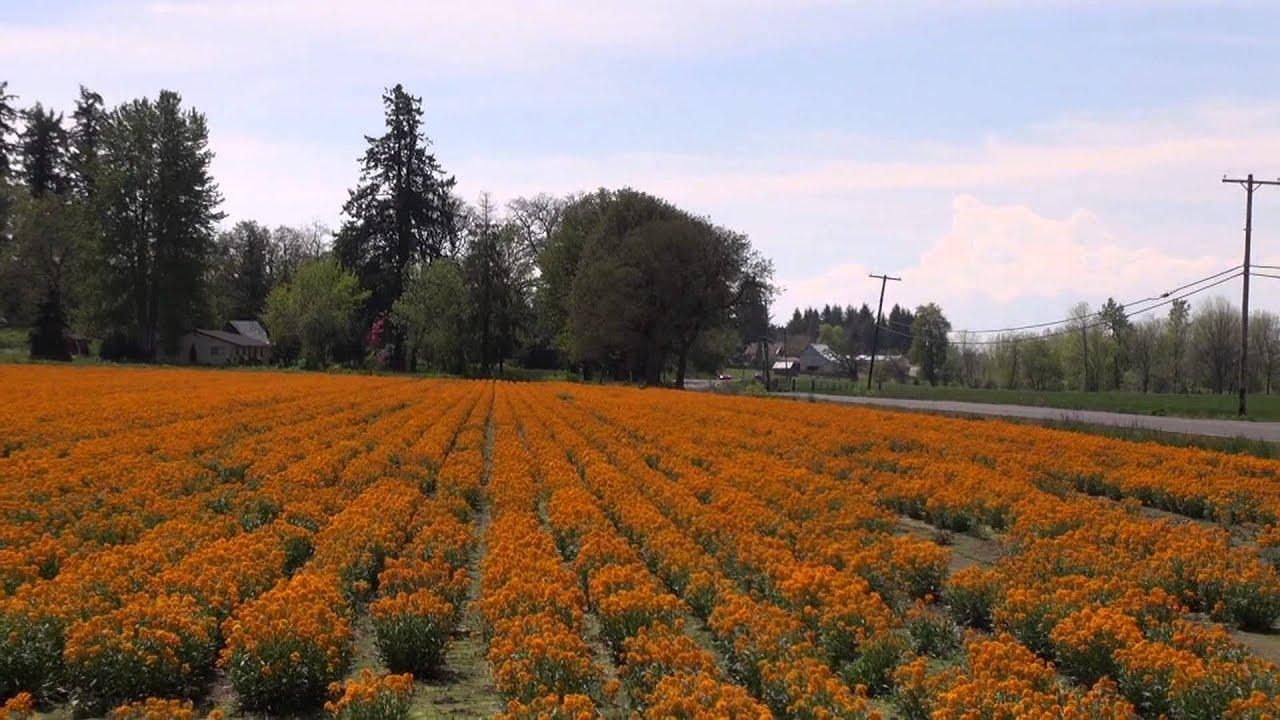 Beautiful field of flowers in oregon youtube beautiful field of flowers in oregon izmirmasajfo