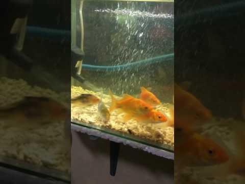 Goldfish Eats Mosquito Larvae
