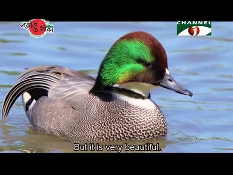 Nature and Life - Episode 212 (Migratory Wild Ducks of Bangl