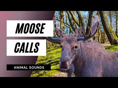 The Animal Sounds: Moose Calls - Sound Effect - Animation