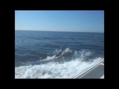 Short-beaked common dolphin, Isle of Man