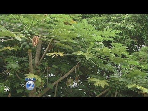 Hawaii Island farmers file lawsuit to stop GMO testing ban