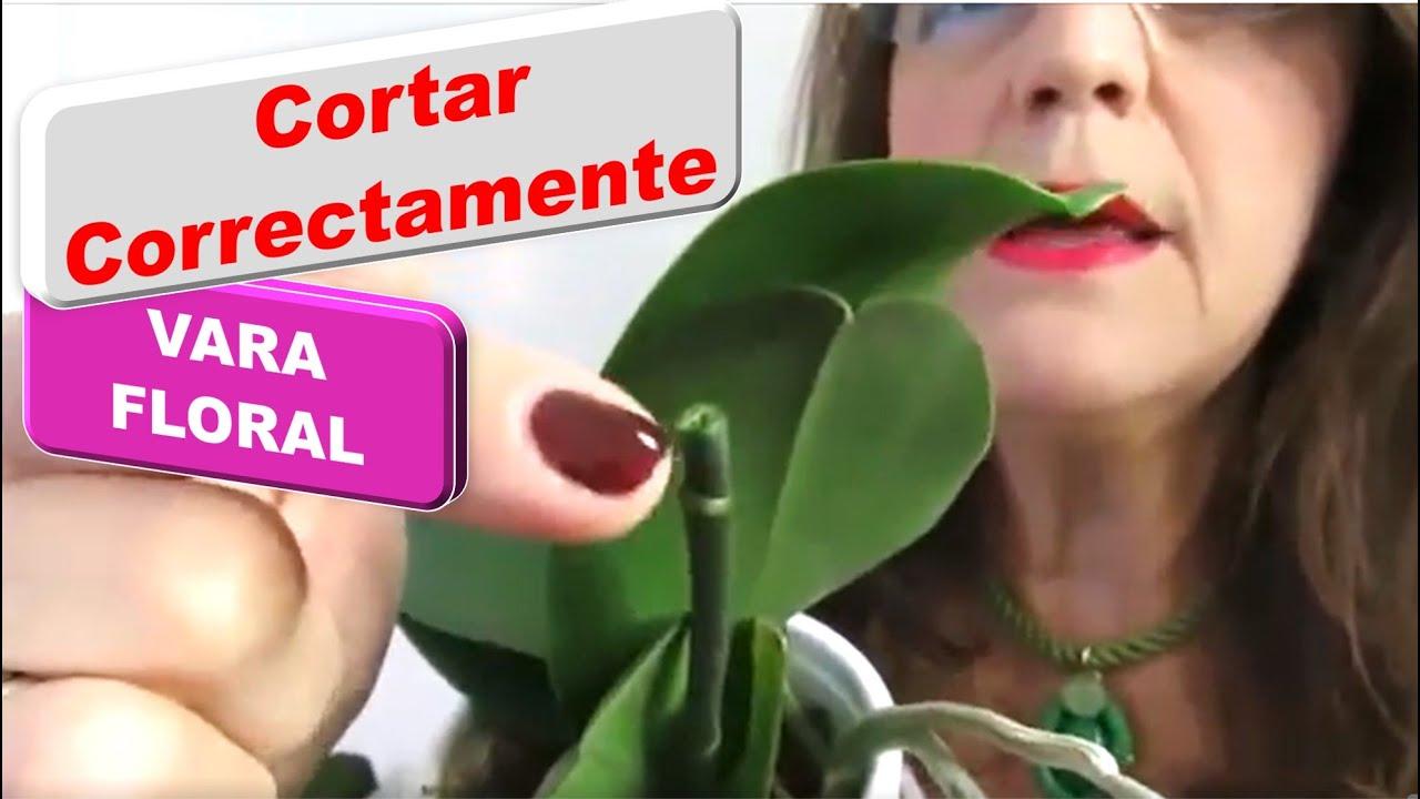 Tu orquídea está muerta. Flores y botones se caen. Sin raíces sin hojas, deshidratadas. Episodio 299
