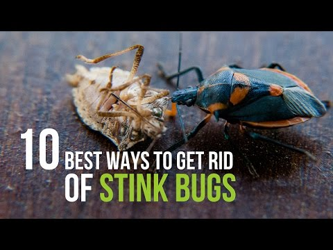10 best ways to get rid of stink bugs youtube. Black Bedroom Furniture Sets. Home Design Ideas