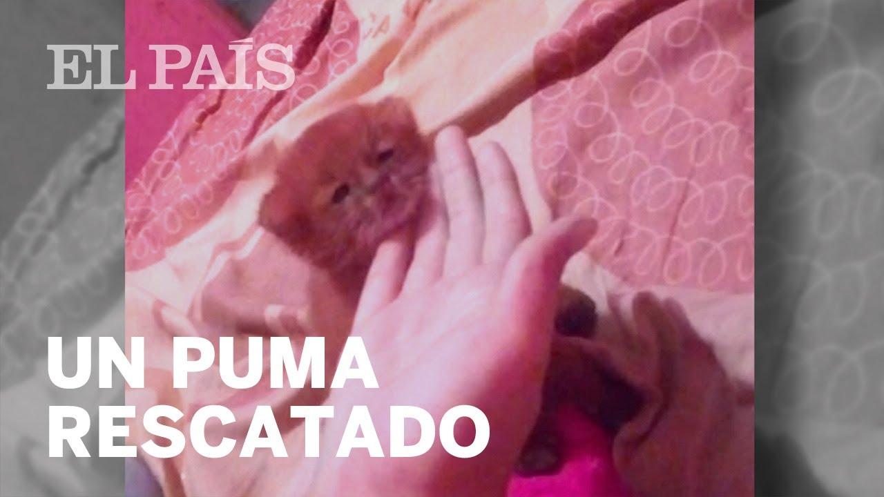 Una joven argentina rescata y cria a puma pensando que era un gato