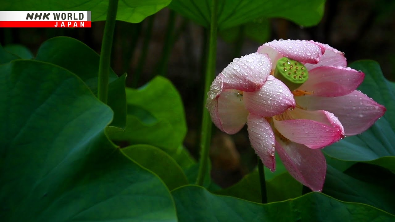 Photo of Passing rain falls on a boat of lotus plants – The 72 Pentads of Yamato – video