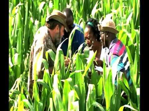 American Bollworm pest at Etunda Irrigation project-NBC