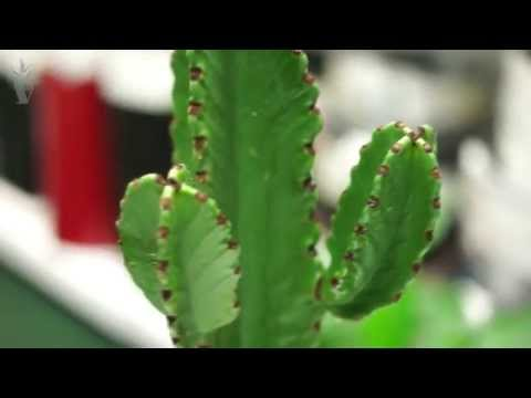 Эчеверия (Echeveria) - уход, размножение,  тонкости выращивания