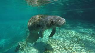 Florida Travel: Swim with a Manatee in Crystal River