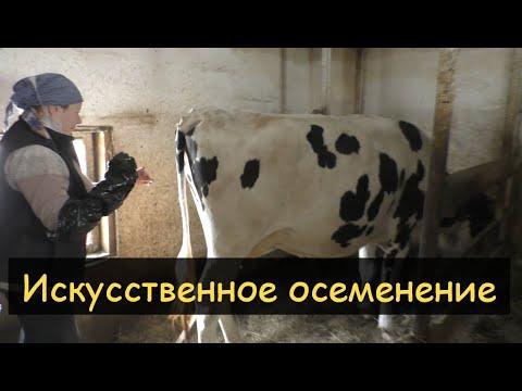 Вопрос: Отзываются ли коровы на свою кличку?