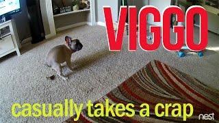 French Bulldog puppy's potting training fail... on the carpet