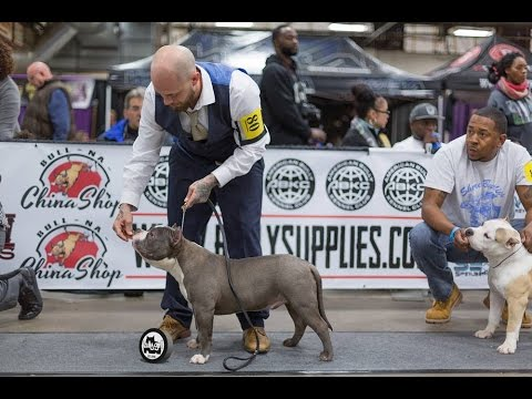 American Bully Show | The Allentown Peace Love Bully Fest 6