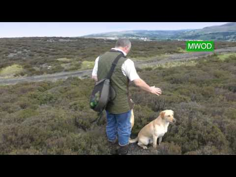Labrador gun dog training