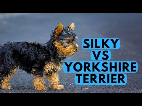 Yorkshire Terrier vs Silky Terrier Difference
