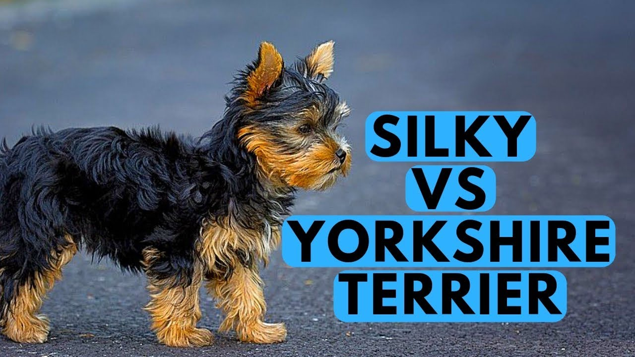 Yorkshire Terrier Vs Silky