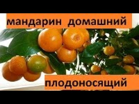 Как вырастить мандарин из косточки в домашних условиях. Плодоносящий