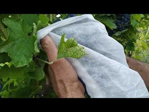 Как спасти урожай винограда от птиц и насекомых. Суперспособ. Мастер-класс