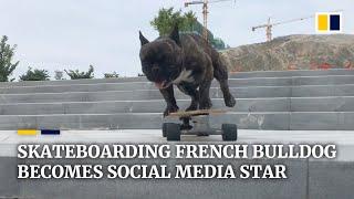 Skateboarding French bulldog becomes Chinese social media star